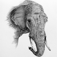 Buy canvas prints of Fine art drawing, of elephant by David  Worthington