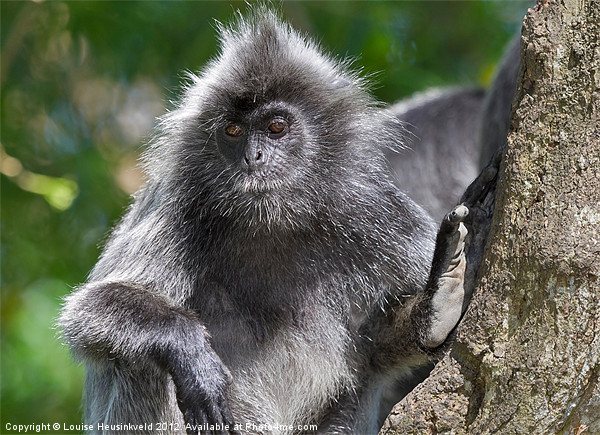 Silvery Langur Framed Print by Louise Heusinkveld Canvas Prints