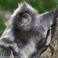 Buy canvas prints of Silvery Langur by Louise Heusinkveld Canvas Prints