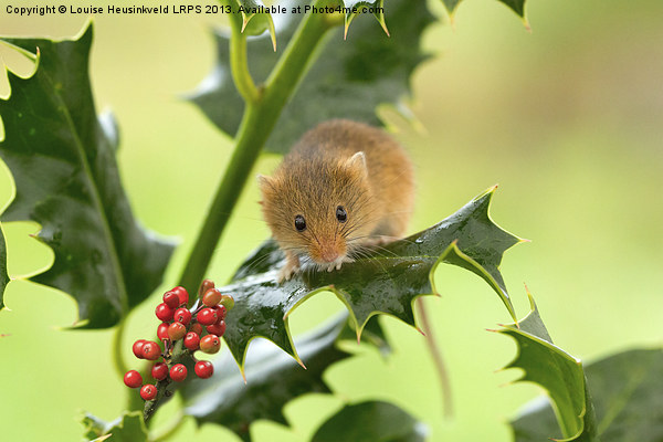 Harvest mouse on Holly at Christmas Canvas print by Louise Heusinkveld Canvas Prints