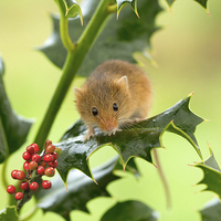 Buy canvas prints of Harvest mouse on Holly at Christmas by Louise Heusinkveld Canvas Prints