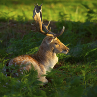 Buy canvas prints of Fallow deer buck at sunrise by Louise Heusinkveld Canvas Prints