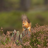 Buy canvas prints of Red Squirrel in Autumn by Louise Heusinkveld Canvas Prints