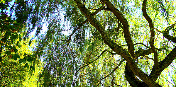 Weeping Willow Tree with blue sky Canvas print by John Boekee