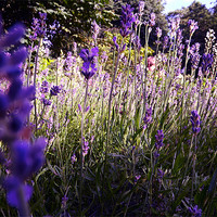 Buy canvas prints of Wild Lavender by LucyBen Lloyd