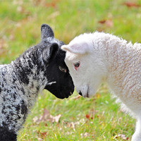 Buy canvas prints of Black and white Lambs by Diana Mower