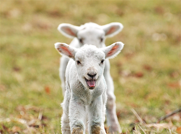 Lambs Canvas print by Diana Mower