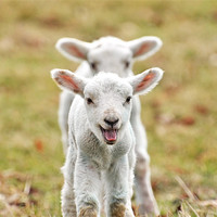 Buy canvas prints of Lambs by Diana Mower