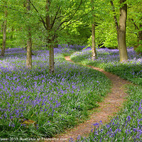 Buy canvas prints of Woodland Bluebells by Diana Mower