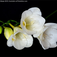 Buy canvas prints of White Freesia on Black Background by Diana Mower