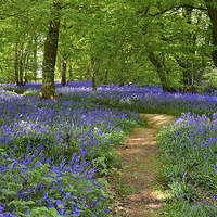 Buy canvas prints of Bluebells by Diana Mower