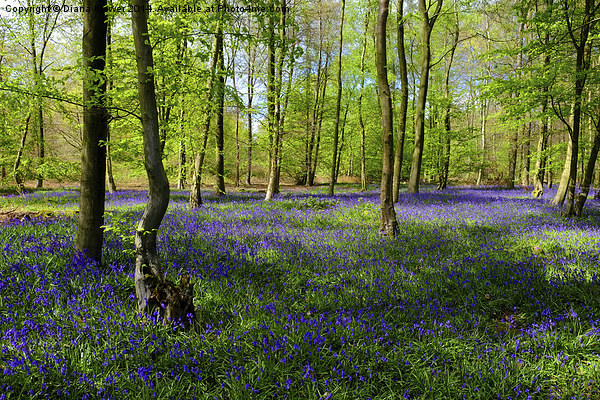 Bluebell  Wood  Canvas print by Diana Mower