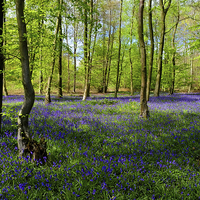 Buy canvas prints of Bluebell  Wood  by Diana Mower
