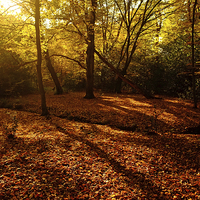 Buy canvas prints of  Autumn Sunlight Epping Forest  by Diana Mower