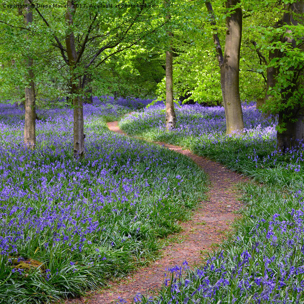 Winding Bluebell path Canvas print by Diana Mower