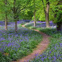 Buy canvas prints of Winding Bluebell path by Diana Mower