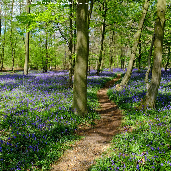 Pathway through the Bluebells Canvas print by Diana Mower