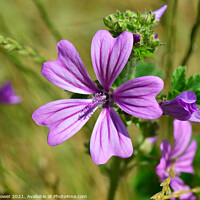 Buy canvas prints of Mallow Flower by Diana Mower
