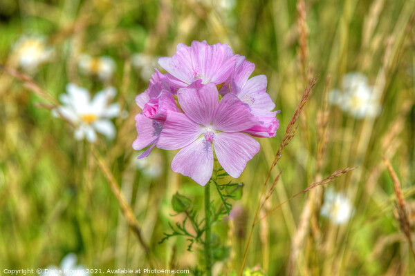 Musk Mallow on the wayside Framed Mounted Print by Diana Mower