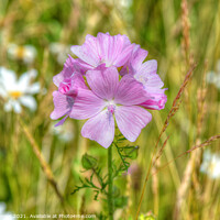 Buy canvas prints of Musk Mallow on the wayside by Diana Mower