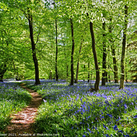 Buy canvas prints of  Bluebell Wood in England by Diana Mower
