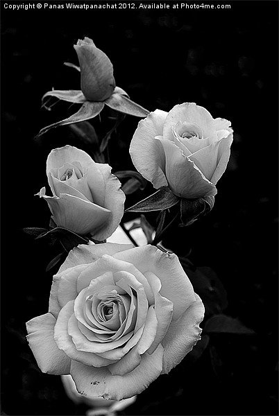 Black and white rose Canvas print by Panas Wiwatpanachat