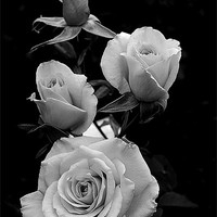 Buy canvas prints of Black and white rose by Panas Wiwatpanachat