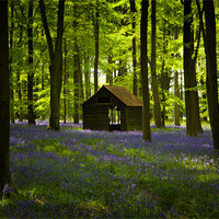 Buy canvas prints of Bluebell Wood in the spring, Hampshire, England by Ashley Chaplin