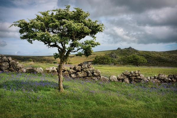 Dartmoor Hawthorn Tree in Spring Canvas print by Ashley Chaplin
