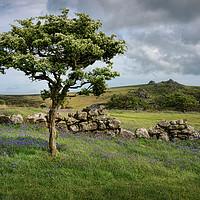 Buy canvas prints of Dartmoor Hawthorn Tree in Spring by Ashley Chaplin