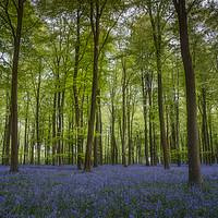 Buy canvas prints of Bluebells in Embley Wood by Ashley Chaplin