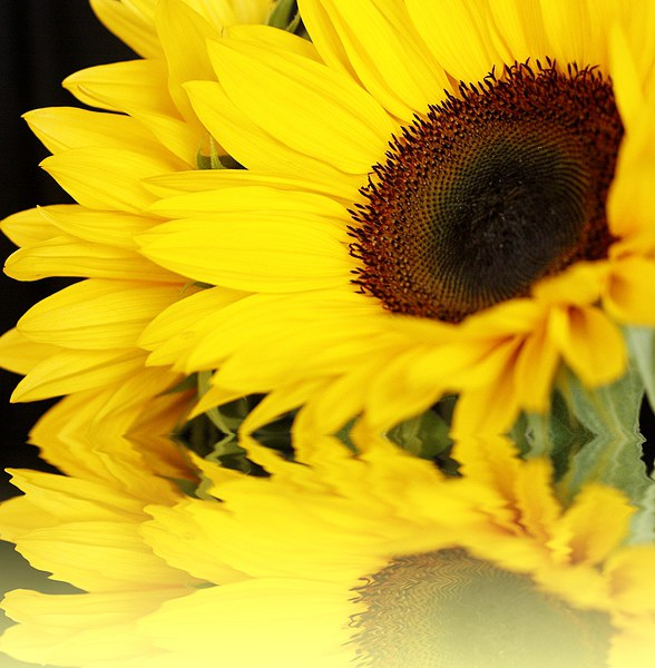 SUNFLOWER REFLECTIONS Canvas print by Anthony Kellaway
