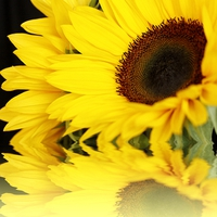 Buy canvas prints of SUNFLOWER REFLECTIONS by Anthony Kellaway