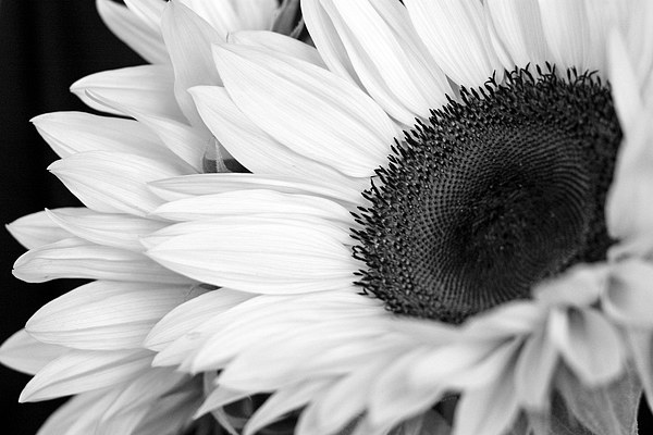 SUNFLOWER Canvas print by Anthony Kellaway