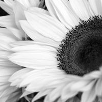 Buy canvas prints of SUNFLOWER by Anthony Kellaway