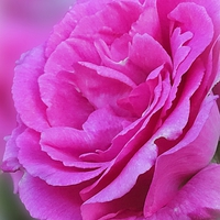 Buy canvas prints of PINK ROSE by Anthony Kellaway