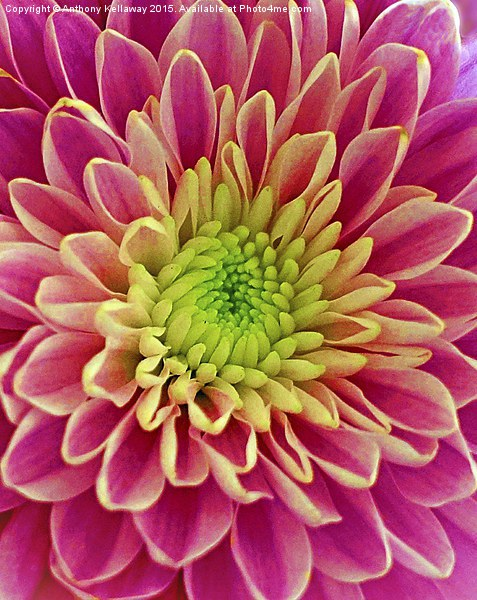 Chrysanthemum Canvas Print by Anthony Kellaway