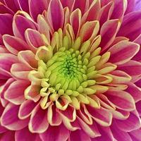 Buy canvas prints of  Chrysanthemum by Anthony Kellaway