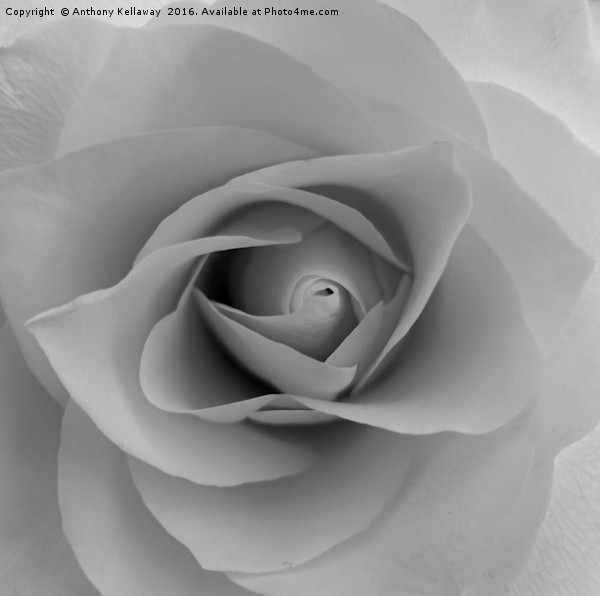 White rose                  Canvas print by Anthony Kellaway