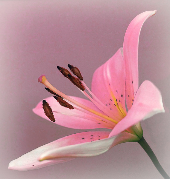 PINK LILY                   Canvas print by Anthony Kellaway