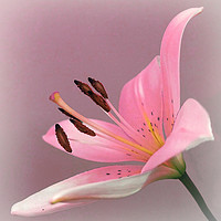 Buy canvas prints of              PINK LILY                   by Anthony Kellaway