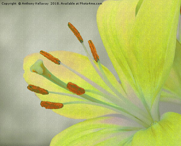Yellow Lily                             Canvas print by Anthony Kellaway