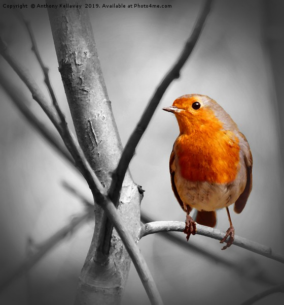 Robin  Canvas print by Anthony Kellaway
