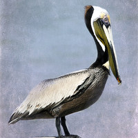 Buy canvas prints of Brown Pelican by Betty LaRue Canvas and Prints