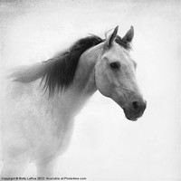 Buy canvas prints of Regal by Betty LaRue Canvas and Prints