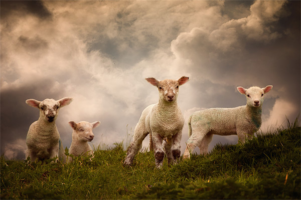 Lambs Canvas print by Audran Gosling