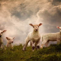Buy canvas prints of Lambs by Audran Gosling