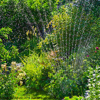 Buy canvas prints of Watering the garden in summer by Kathleen Smith (kbhsphoto)