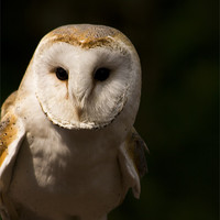 Buy canvas prints of Barn Owl by Mathew Hatton-Shearing