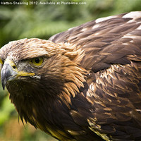 Buy canvas prints of Golden Eagle by Mathew Hatton-Shearing